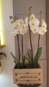 Drivu Phalaenopsis