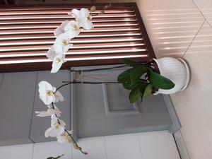 Drivu White Phalaenopsis Plant With Vase