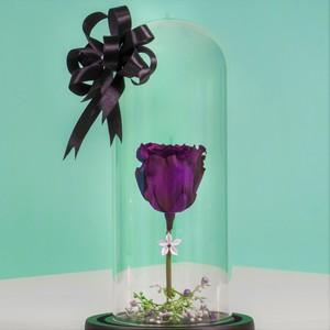 Drivu Ecuador Natural Purple Infinity Rose