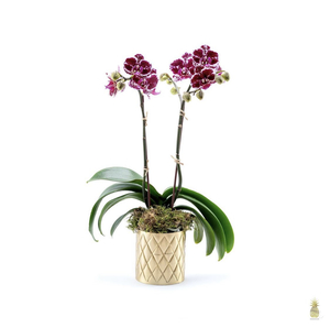 Drivu Orchid Plant in Pine Vase