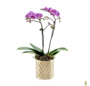 Drivu Mini Orchid in Pine Vase